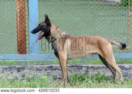 Belgian Sheepdog Or The Chien De Berger Belge. Breed Of Dog Have Been Used As Herding, Assistance, C