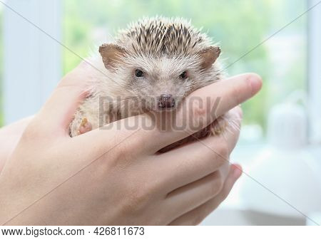 African Pygmy Hedgehog Sitting On His Hands. Cute Homemade Hand Hedgehog Looks At The Camera. High Q