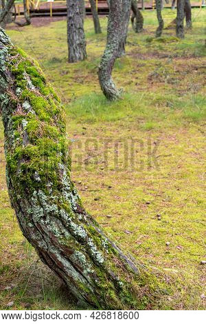 Moss On Tree Trunk, An Old Tree With Moss.
