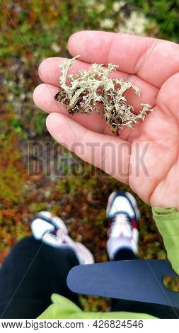 Ecotourist Holds Reindeer Lichen In Palm Of His Hand. Walking On The Tundra. Healthy Eating And Alte