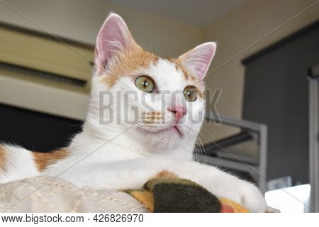 Cat Sitting On The Sofa In A House.  Surprised Or Frightened Cat Face.