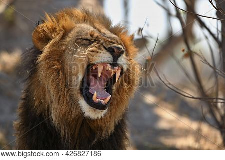 Portrait Of Roaring Lion Showing Its Long Canines. Background Is Blur. It Has Long Hair Around Its N