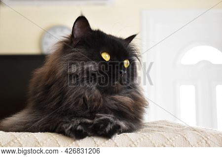 Persian Cat Sitting On Sofa. Copy Space Is On The Right Side.