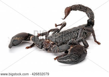 Scorpion Isolated On White, Close Up Of Poisonous Animal