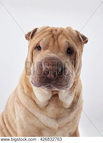 Shar Pei On White Background. The Dog Smiles, Funny Face