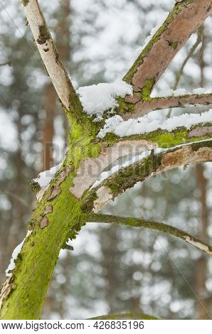 Mossy Branch Covered With Fresh Snow During Winter