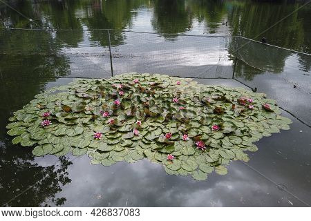 Beautiful Water Lily - Nymphaea Attraction Water Lilies - Aquatic Plants, Water Plants