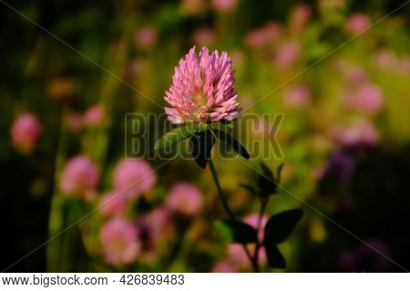 Many Clover Flowers. Summer Meadow With Clover