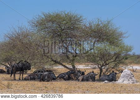 Wildebeest In The Shade Of An Acacia Tree In Nxai Pan National Park, Botswana
