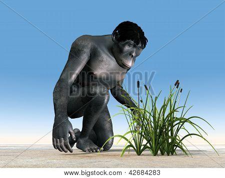 Homo Habilis - Human Evolution