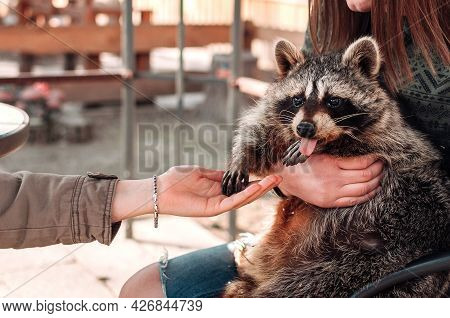 The Raccoon Stuck Out His Tongue. The Girl Holds The Pet In Her Arms. The Second Girl Holds Out Her