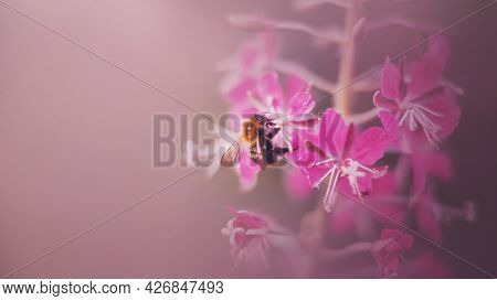 A Cute Fluffy Bumblebee With Transparent Wings Collects Pollen From The Pink Fragrant Flowers Of The