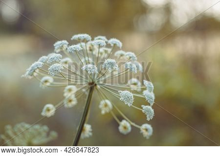 Beautiful Meadow Wild Grass In Warm Sunlight. Beauty Nature Field Background With Growing Plant Cumi