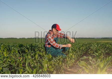 Middle Age Male Caucasian Maize Farmer With Tape Measure And Tablet Computer Kneeled For Inspection