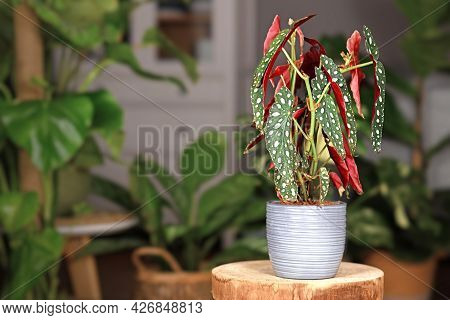 Exotic Houseplant With Botanic Name 'begonia Maculata'  With White Dots In Gray Ceramic Flower Pot O