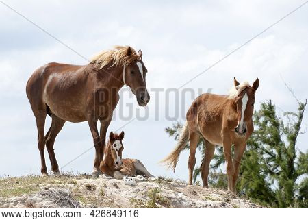 The Family Of Horses With A Foal In Wilderness On Grand Turk Island (turks And Caicos Islands).