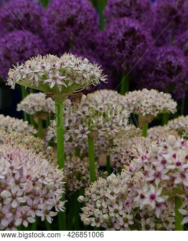 A Close Up Of White Allium Flowers With Purple Alliums In The Background