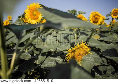 Sunflower Field Under Blue Sky. Field Of Blooming Sunflowers On Sunny Day.
