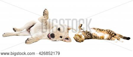 Playful Labrador Puppy And Cat Scottish Fold Lying Together Isolated On White Background