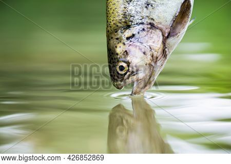 Trouts In The Green Water Of A Mountain Lake. Rainbow Trouts Close-up In Water. Fishing. Rainbow Tro