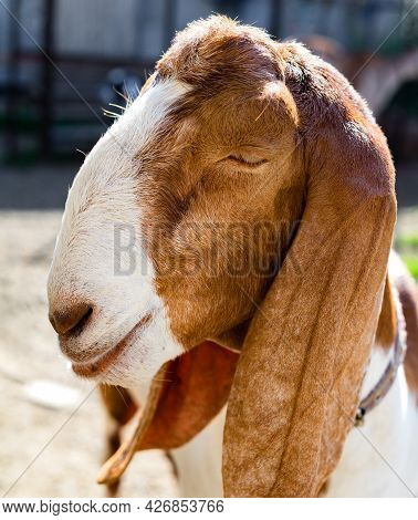 Portrait Of A Female Nubian Goat With Her Eyes Closed. With An Arrogant, Smug Expression On His Face
