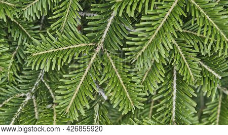 Texture Of Coniferous Branches As Plant Background. Top View. Banner