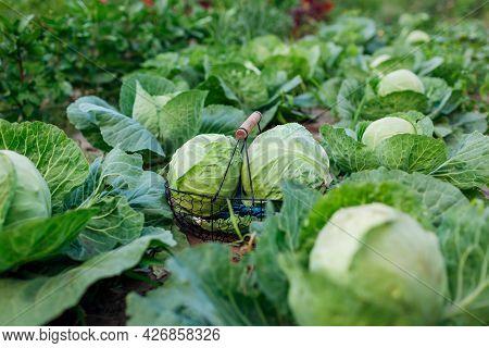 Picking Cabbage In Summer Garden Putting Vegetable Crop In Basket. Harvesting Organic Healthy Food O