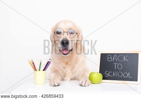 Cute Golden Retriever In Glasses With Chalkboard. The Dog At The Desk Collects Pencils For Study. Ba