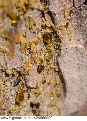 Drops Of Pine Resin On The Trunk Closeup