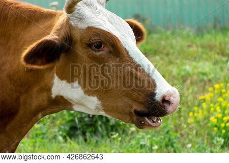 A Cow With An Open Mouth On A Background Of Green Grass. Close-up Of A Brown Cow's Head. Cow In The