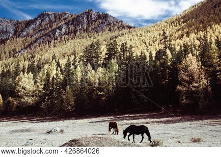 Horses graze in the foothills of the Altai Republic.
