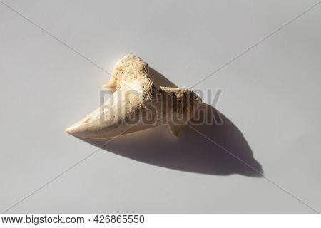 An Ancient Prehistoric Shark Tooth On White Background. One Hundred Million Years Old Paleontology F