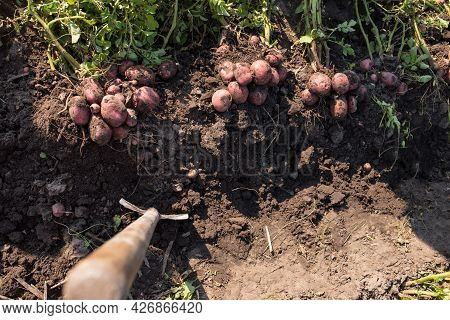 Shovel Sticking In Land With Dug Potatoes, View From A Top.