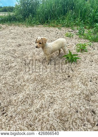 A Small Cute Gray Puppy On The Sand By The River During The Rain. Countryside, Russia