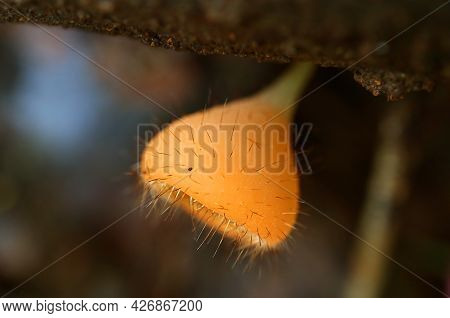 Closeup An Eyelash Cup Fungi Growing On Decayed Log In The Rainforest Of Thailand