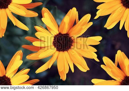Yellow Flowers Of Rudbeckia, Large Yellow Petals Of The Flower. The Flowering Period Of Flowers And
