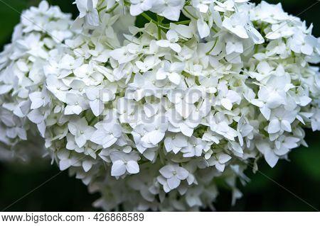 White Hydrangea Flower, Mop Annabelle H. Arborescens, Hydrangea Tree Hydrangea Anabelle Cold-resista