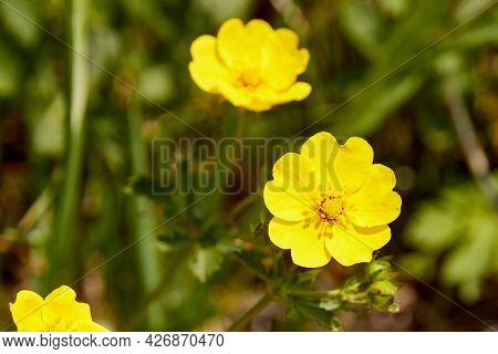Selective Focus Close-up Of Bulbous Buttercup Flower