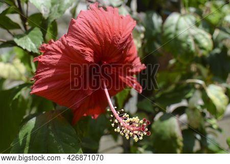Hibiscus Flower Or Rosa Sinensis Also Known As Shoe Floers In Bright Red Color. Dark Red Petals With