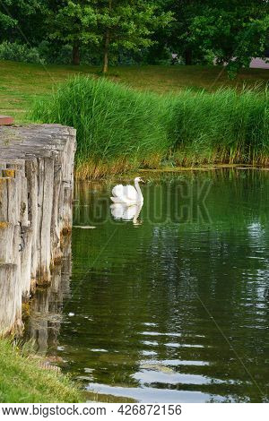 White Beautiful Swan On The Pond. White Bird Cygnus Is A Symbol Of Love And Fidelity.