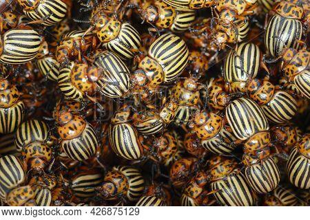 A Lot  Of Colorado Potato Beetles. A Plague Of Colorado Potato Beetles Threatens The Potato Crop.