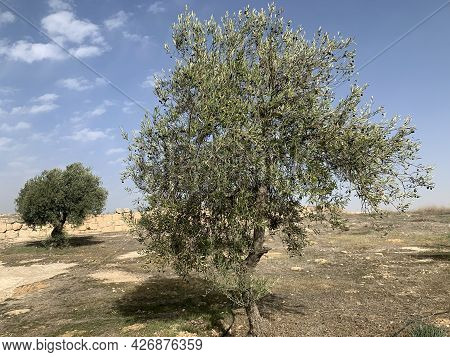 Olive Tree In The Ancient Jewish Settlement Of Susia In The Hebron Highlands