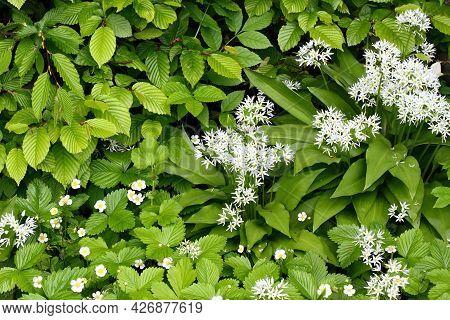 Flowering Wild Garlic Or Bear Garlic, Broad-leaved Garlic, Lat. Allium Ursinum And Wild Strawberries