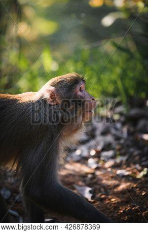 Closeup of Chinese mountain monkey