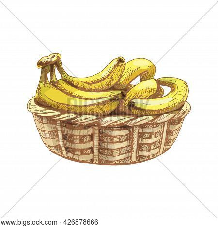 Branch Fresh Banana Fruit In Basket. Vintage Vector Hatching Color Hand Drawn Illustration Isolated