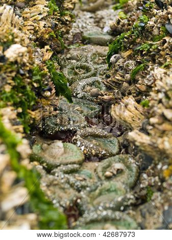 A Bed Of Sea Anemones At Cannon Beach On The Oregon Coast Usa