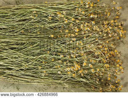 Chamomile. Dry Herbs For Use In Alternative Medicine, Phytotherapy, Spa Or Herbal Cosmetics. Prepari