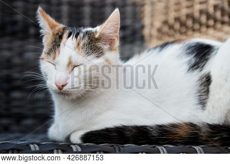 An Adored Tricolor Kitten, The Kitten Sits On A Canopy Chair On The Veranda And Closed Her Eyes. Lar