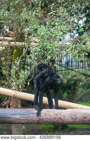 Colombian Black Spider Monkey Female With Cub. This  Monkey Is One Of The Largest Of The New World M