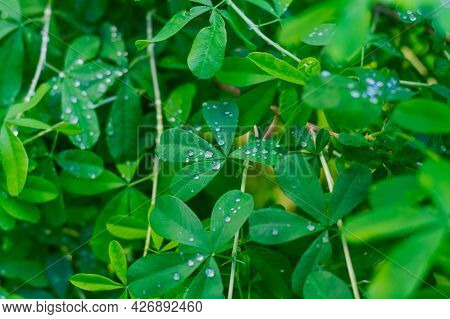 The Green Foliage Of A Bush In Raindrops Or Dew On A Summer Day.
